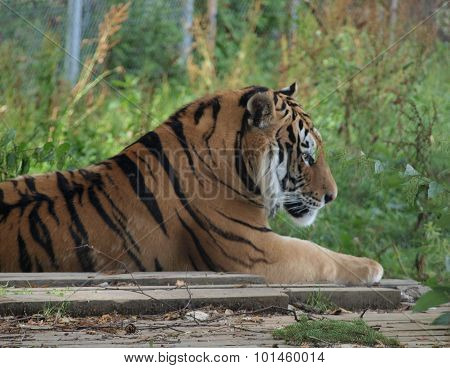 Tiger ( Panthera Tigris )