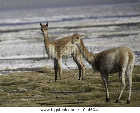 Vicuna Encestor Of The Lama And Alpaca