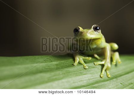 Tree Frog On Twig In Rainforest