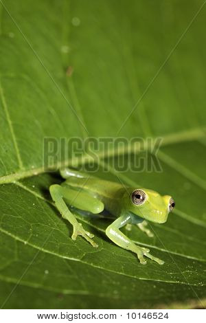 Tree Frog On Leaf In Tropical Rainforest
