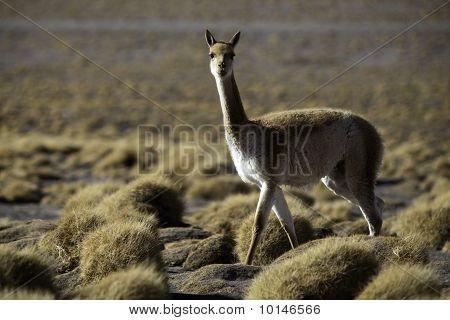 Vicuna Encestor Of The Lama And Alpaca