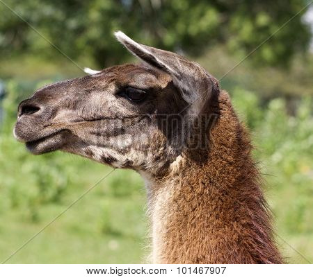 The Beautiful Close-up Of The Llama Moving Her Ears
