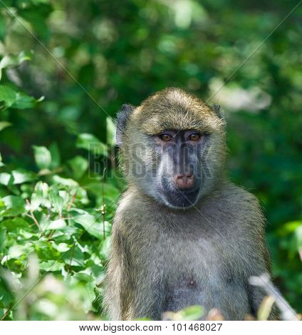 Close-up Of A Funny Baboon