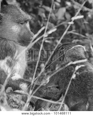 The Baboon Is Helping His Friend