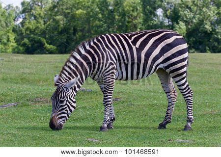 Beautiful Zebra On The Grass Field
