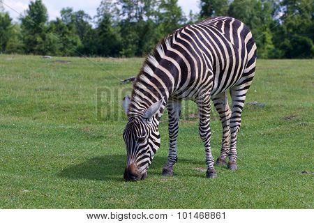 Zebra On The Field