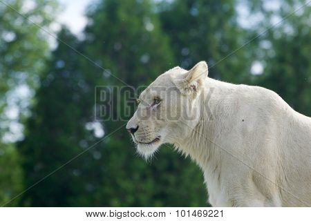 Beautiful Background With A White Lion