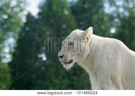 White Lion Shows The Tongue