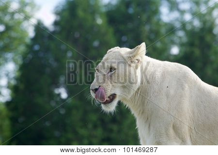 White Lion Is Ready To Eat Someone