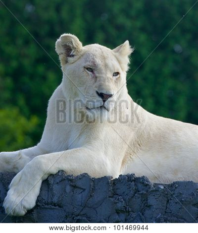 The Laying White Lion