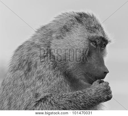The Funny Baboon Is Trying To Decide
