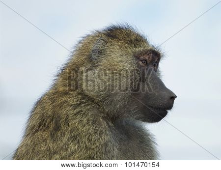 The Funny Baboon Is Looking On Something