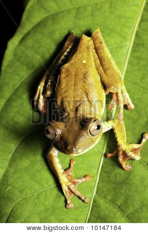 Tree Frog On Leaf Looking Up
