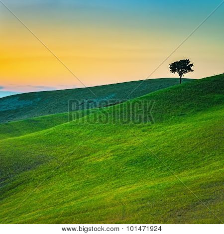 Tuscany, Lonely Tree And Green Fields On Sunset. Volterra, Pisa, Italy.