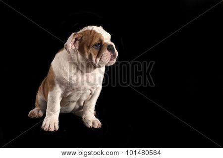 English Bulldog Puppy .