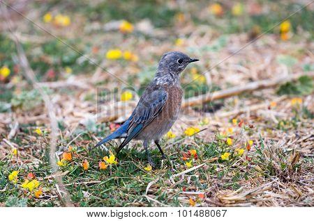 Western Bluebird (Sialia mexicana), Adult, Female