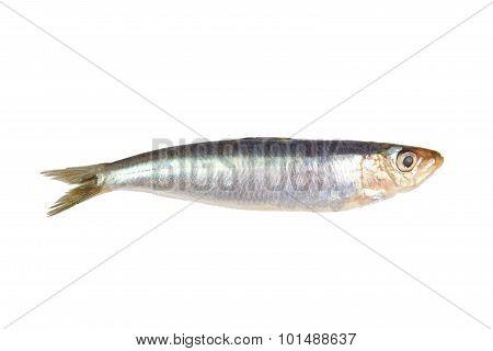 Fresh raw sardine isolated on a white background