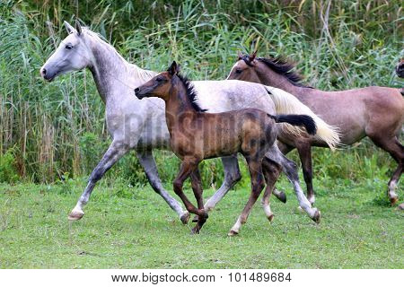 Herd Of Horses Running Through The Meadow Summertime