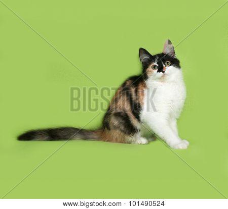 Tricolor Fluffy Kitten Sitting On Green