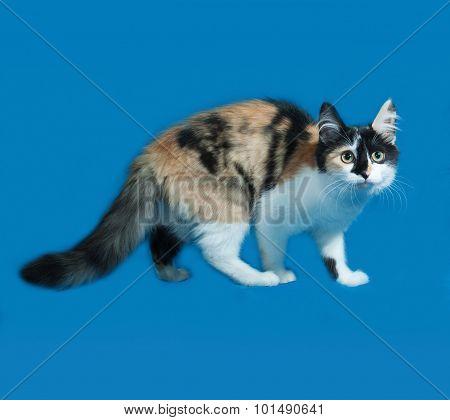 Tricolor Fluffy Kitten Standing On Blue