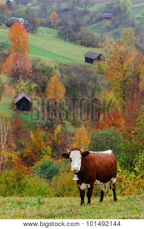Brown cow in a pasture in a mountain village. Autumn landscape on a rainy day