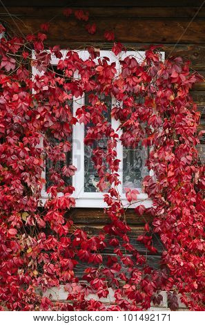 Red leaves of wild grapes on the windows. Autumn time