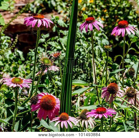 Purple Coneflowers in Texas