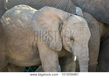 Young African Bush Elephant