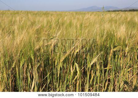 Beautiful summer wheat field.