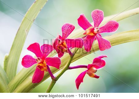 Red Orchid Flowers In The Garden.