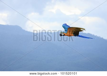 Macaws Parrots Flying In The Sky.