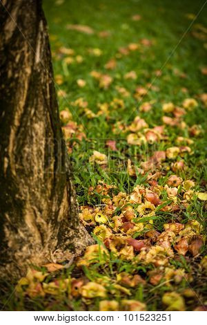 Fallen Blossom On Grass / Blossom On Grass / Fallen Blossom On Grass In Park Background