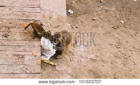Monkeys searching for food in rubbish.