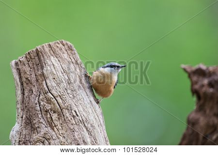 nuthatch in tree trunk in forest