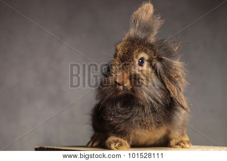 Furry brown lion head rabbit bunny sitting on a wood box while looking at the camera.