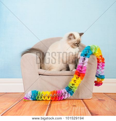 Portrait Birman cat at birthday