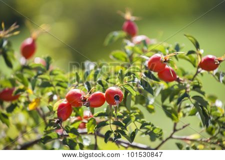 Branch With Ripe Red Rosehips