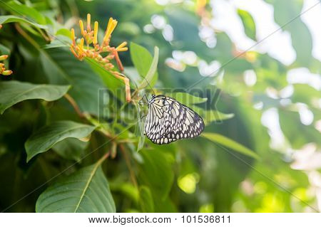 Black And White Butterfly On Orange Flowers