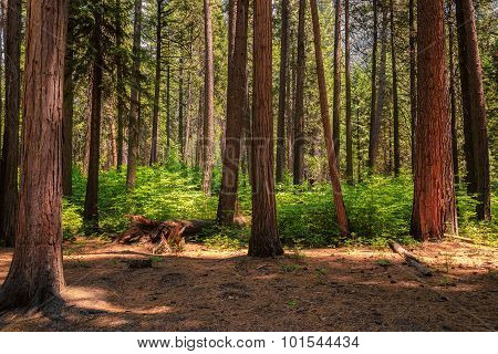 Misty sequoias forest in Yosemite National Park