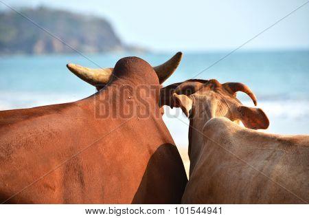 Two cows on Agonda beach of South Goa, India