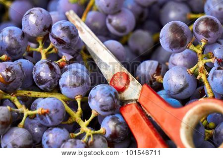 Harvested grapes in a box with scissors. Harvesting. Winemaking. Grape harvest. Scissors for cutting