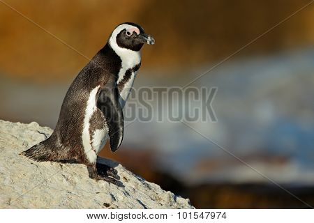 African penguin (Spheniscus demersus) on coastal rock, Western Cape, South Africa