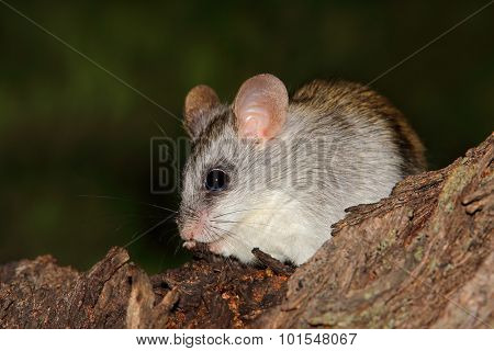 An Acacia tree rat (Thallomys paedulcus) sitting in a tree, South Africa