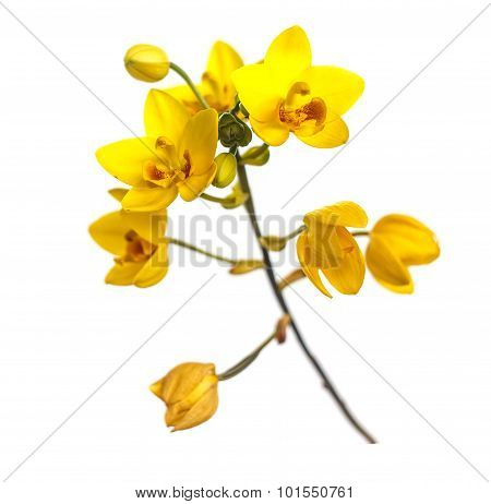 Yellow Ground Orchids Flower Isolated On White