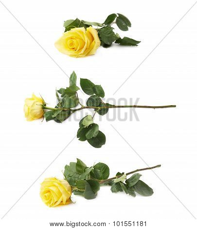 Fresh yellow rose isolated