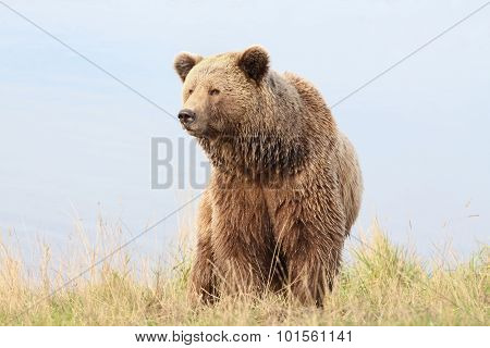 Portrait of brown bear