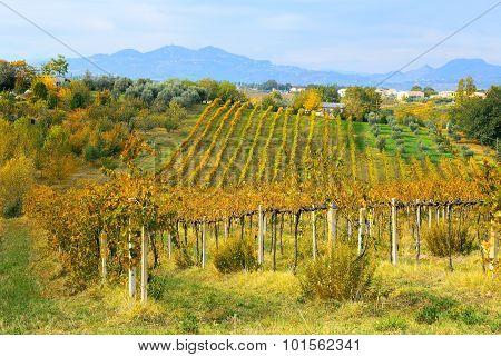 Wineyard In Autumn