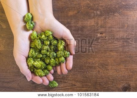 Holding Fragile Hop Cones. Organic Raw Ingredients For Beer Production.