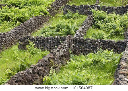 Traditional Azores Landscape With Volcanic Rock Vineyards In Sao Jorge