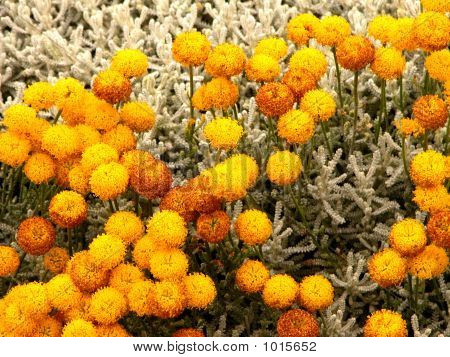 San Fran Yellow